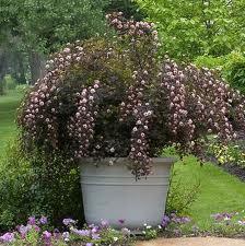 Physocarpus opulifolius  ``Summer Wine``