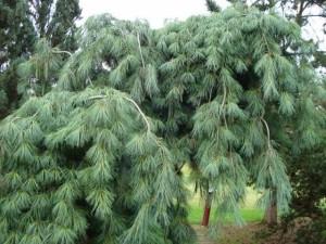 Pinus strobus Pendula