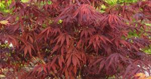Acer palmatum Sumi-nagashi