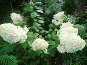 Hydrangea paniculata `Magical Moonlight`, Lepes