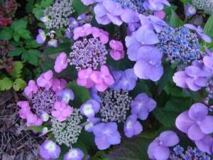 Hydrangea serrata`Cotton Candy`, Lepes