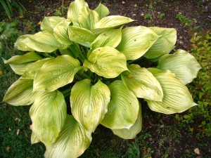 Hosta `Sum and Substance`, Lepes