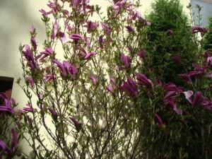 Magnolia `Susan`, Lepes