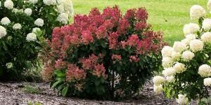 Hydrangea paniculata Little Quick Fire