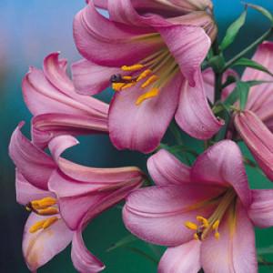 "Lillijas ""Pink Perfection Trumpet"", Lillium ""Pink Perfection Trumpet"""