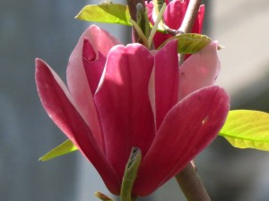 Magnolia Burgundy Spire