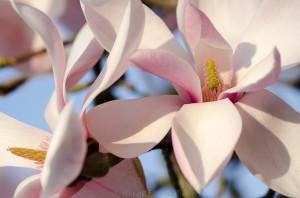Magnolia sprengeri Diva Koln