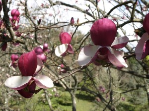 Magnolia x soulangeana Verbanica