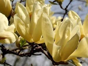 Magnolia Yellow River