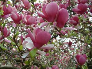 Magnolia x soulangeana Rustica Rubra