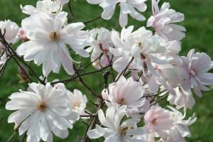 Magnolia Waterlily