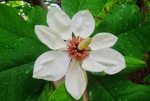 Magnolia wiesneri Aashild Kalleberg