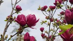 Magnolia Gennie