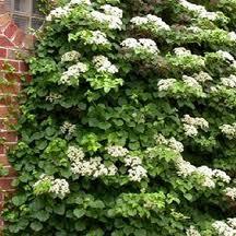 Vīteņhortenzija, Hydrangea petiolaris, Lepes