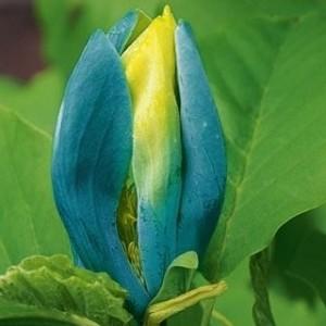Magnolia Blue Opal