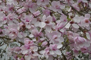 Magnolia Iolanthe