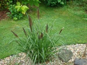 Pennisetum al. Moundry, Lepes